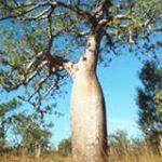 Adansonia Gibbosa o Gregorii